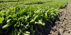 Spinach cultivation