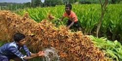 Turmeric Cultivation  cultivation