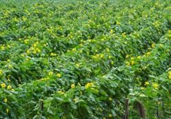 Sponge Gourd Cultivation cultivation
