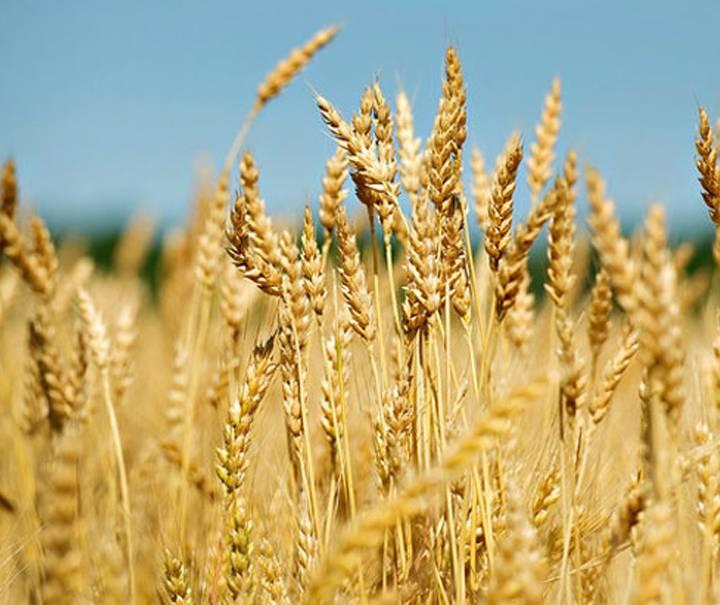 How to grow Wheat?