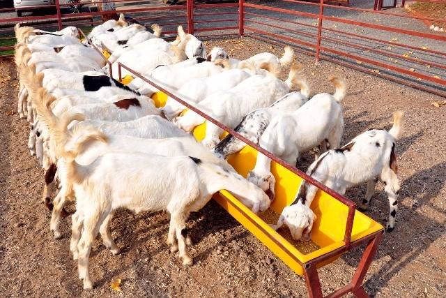 Want To Become A Successful Goat Farmer Here Are The Excellent Tips Benefits Of Rearing Goats Making Maximum Profit