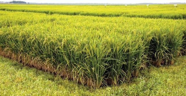 rice uark