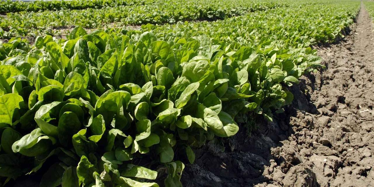 farming spinach