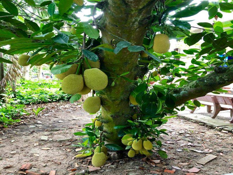 Guide to grow the Miraculous Jackfruit; step by step method explained