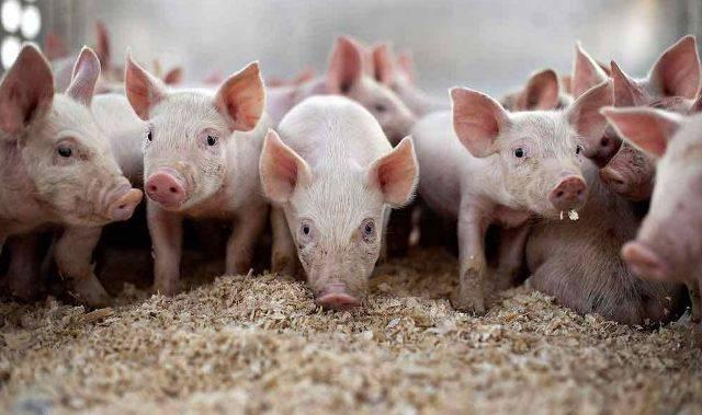 Should you Opt for Pig Farming ?