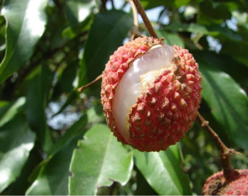 Nutrient Deficiency Diseases in Fruits