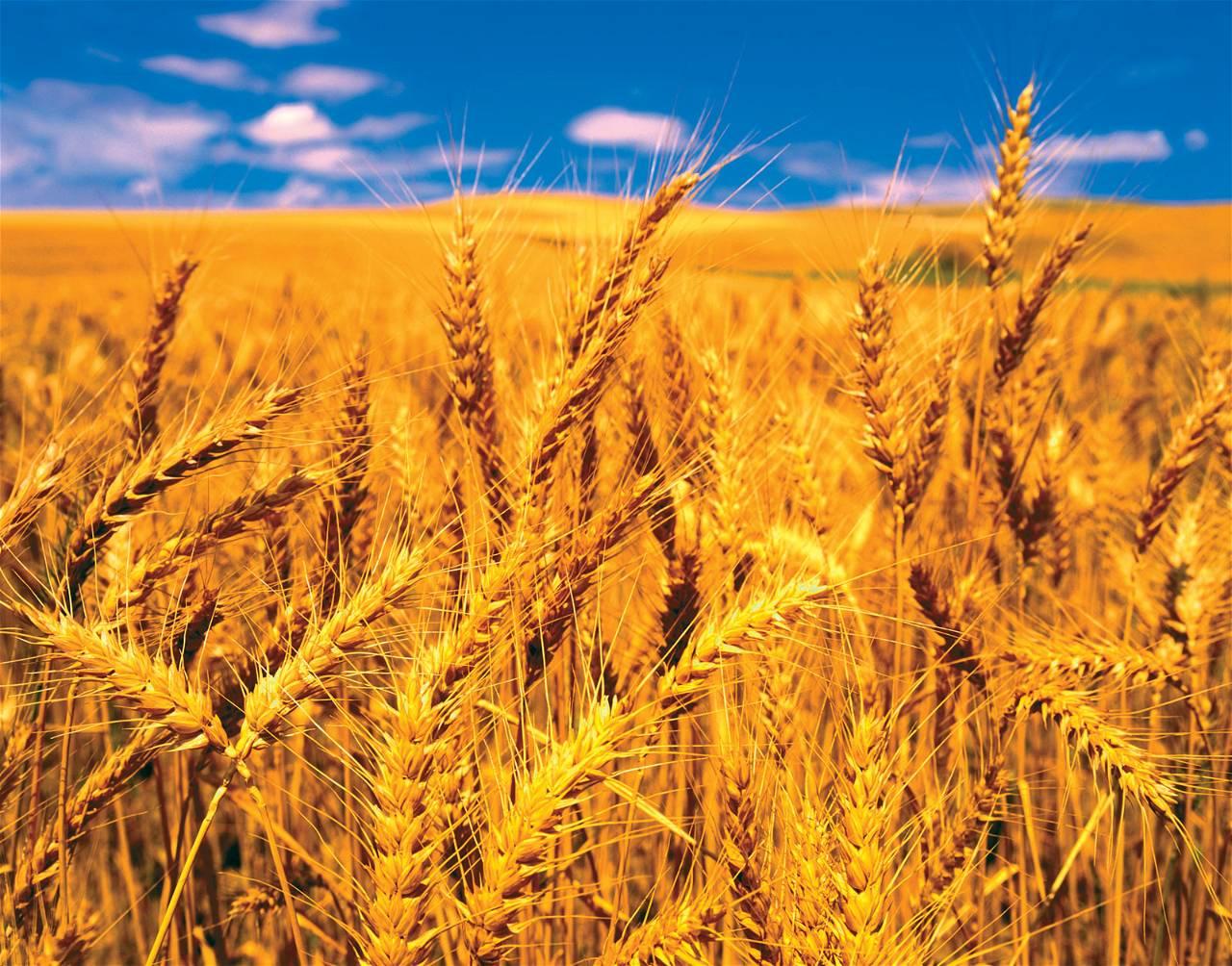 Wheat Set-1